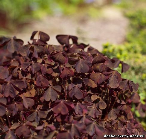 фото трава кислица