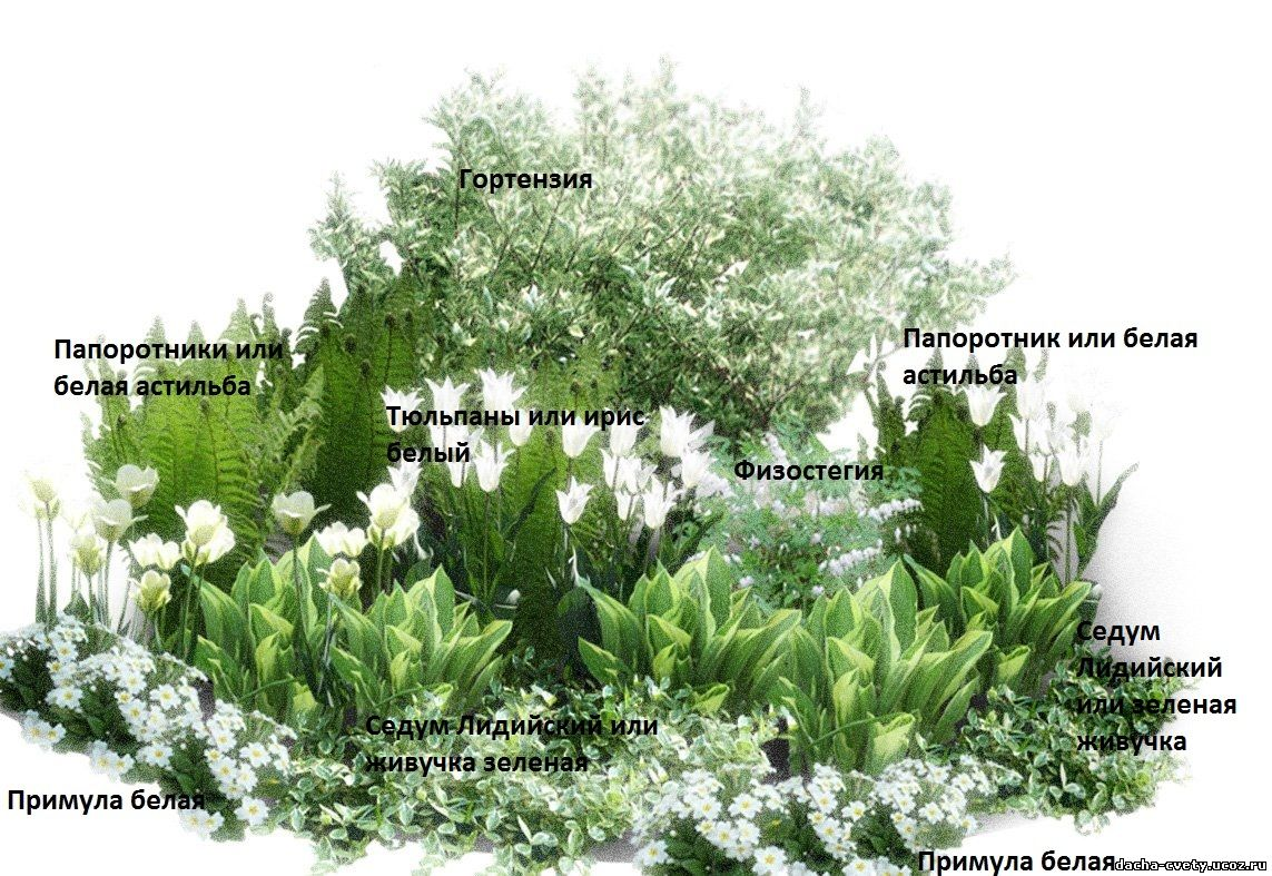 Infographics sedums with white flowers