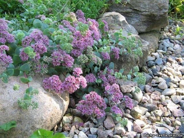 Цветы для дачи где купить розы бордюрные купить в питомнике чеховский сад в туле