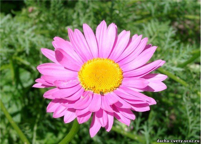Цветы пиретрума купить в
