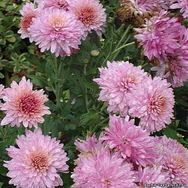 Где купить многолетники цветы хризантема купить цветы оптом дешево в москве сао